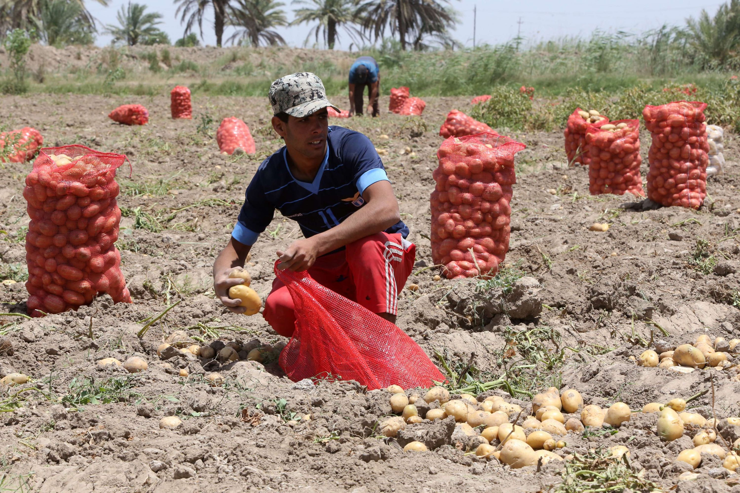Iraqi farmers collect potatoes from their fields in the village of Yusufiyah around 16kms south of Baghdad. (AFP)