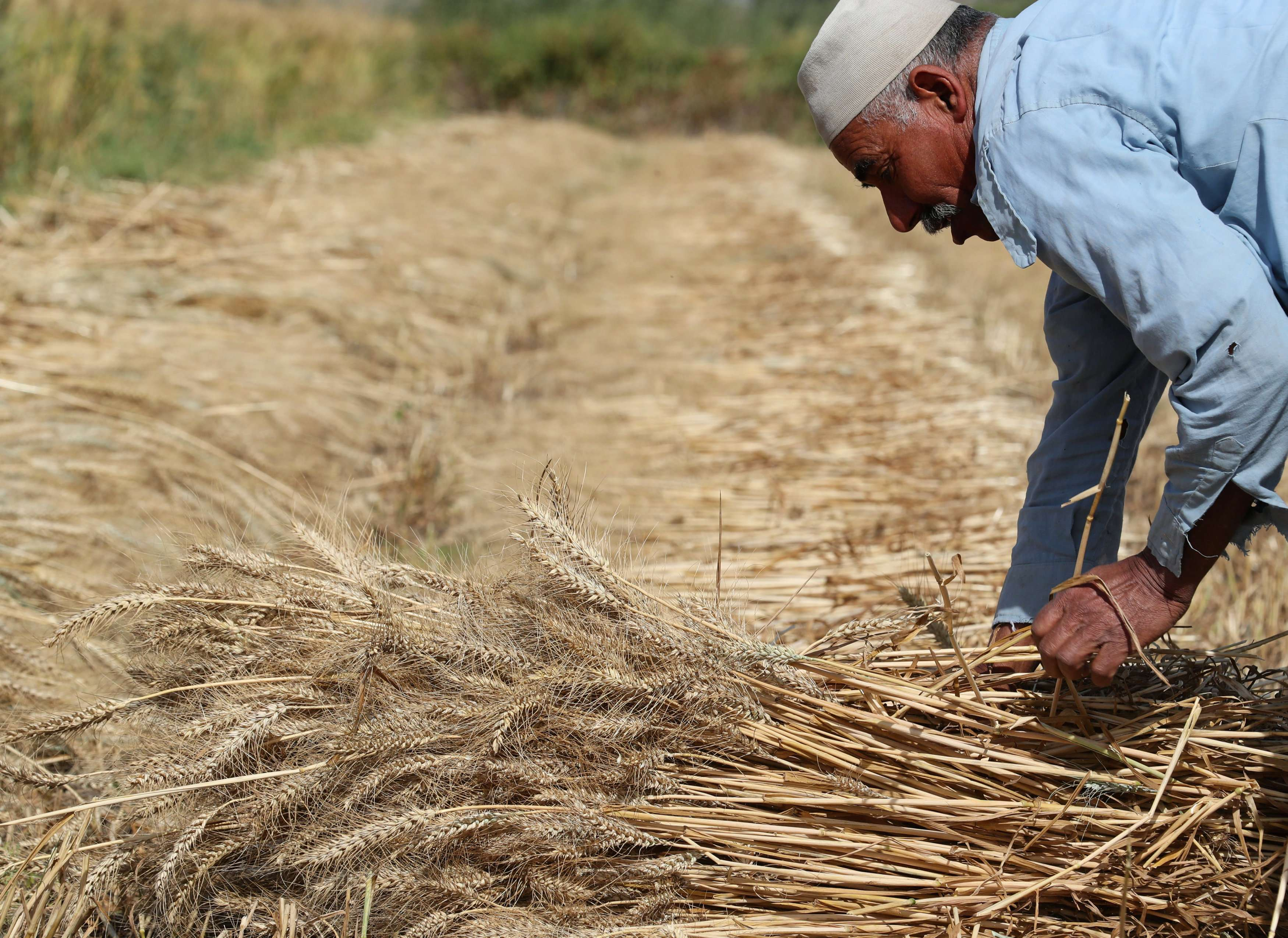 Money feud. A farmer harvests wheat in a field in the Beheira governorate, north of Cairo, on April 4. (Reuters)