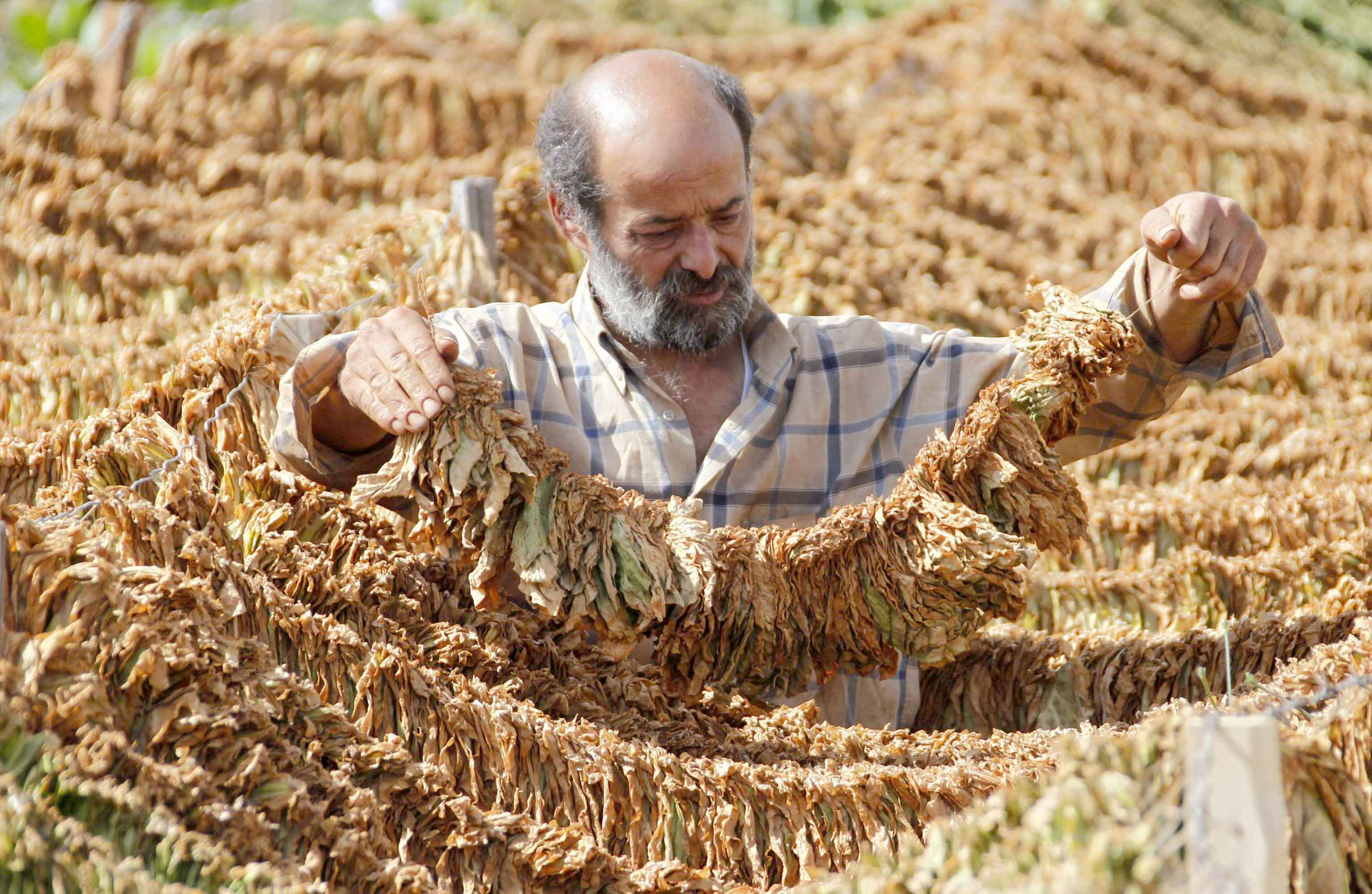 A farmer holds tobacco leaves in Aitaroun in southern Lebanon. (Reuters)