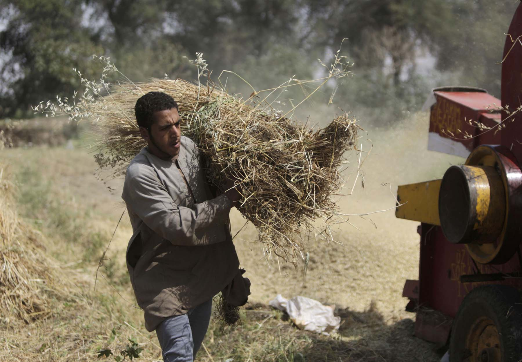 An Egyptian farmer carries wheat crop bundles on a farm in Beni Suef, south of Cairo. (AP)