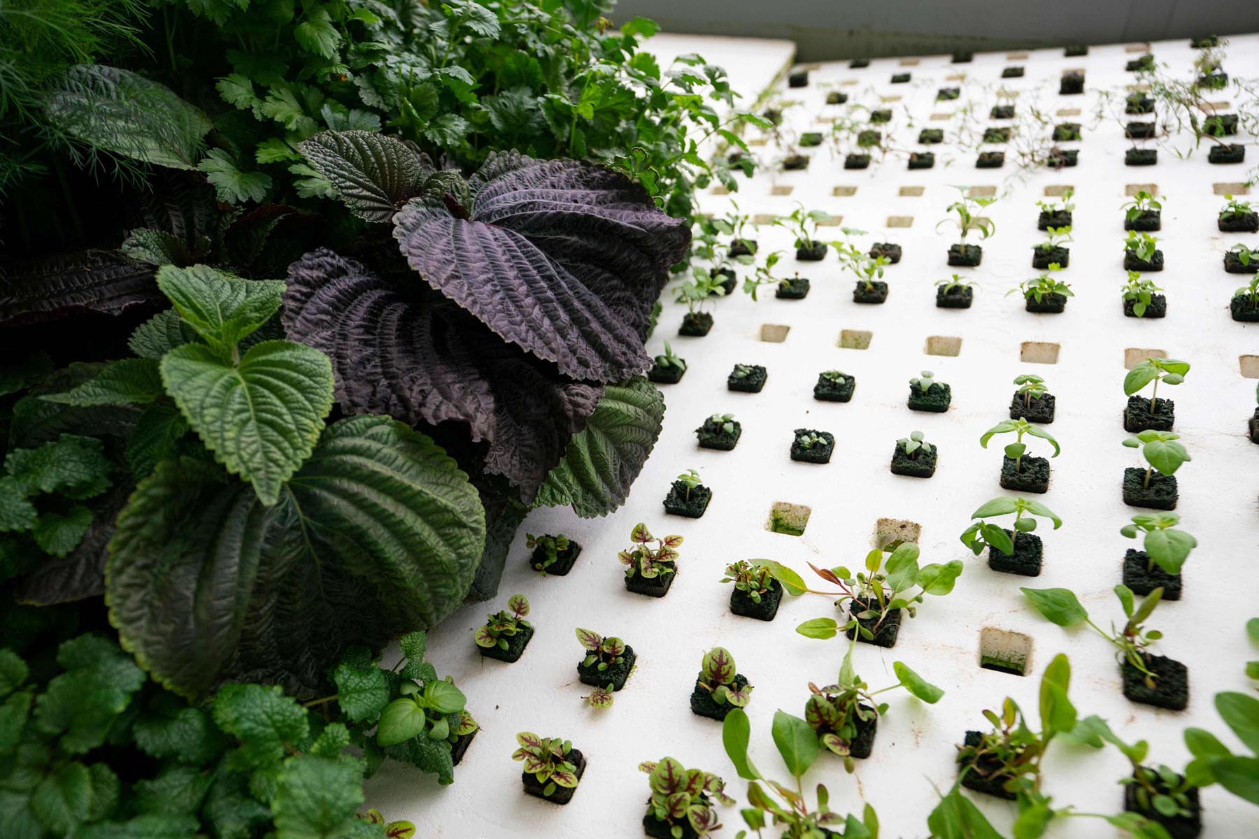 Greens are grown at a vertical farm. (AFP)