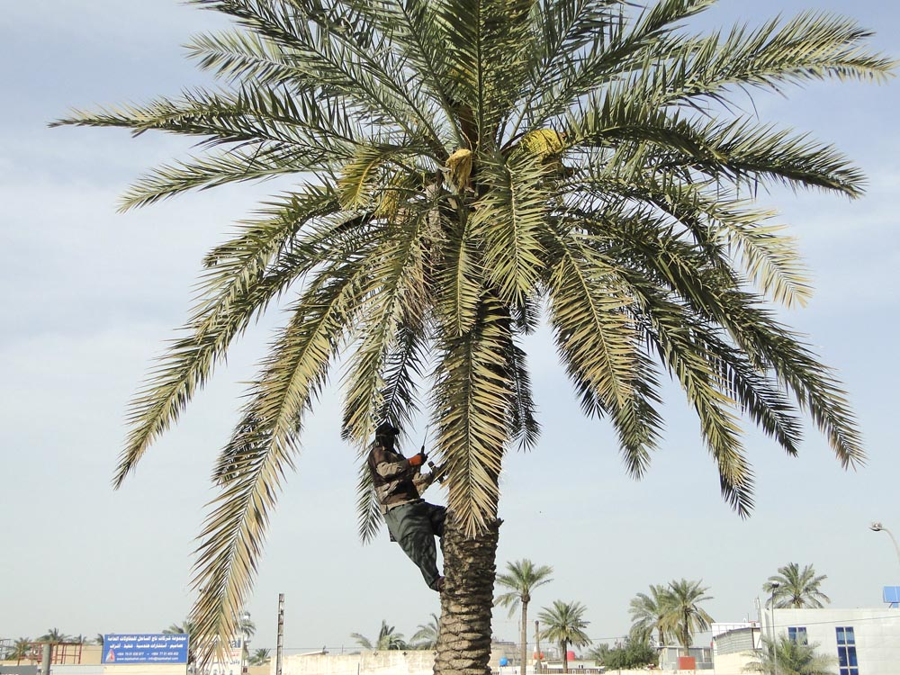 A man climbs a palm tree during date picking season in Iraq. (Oumayma Omar)