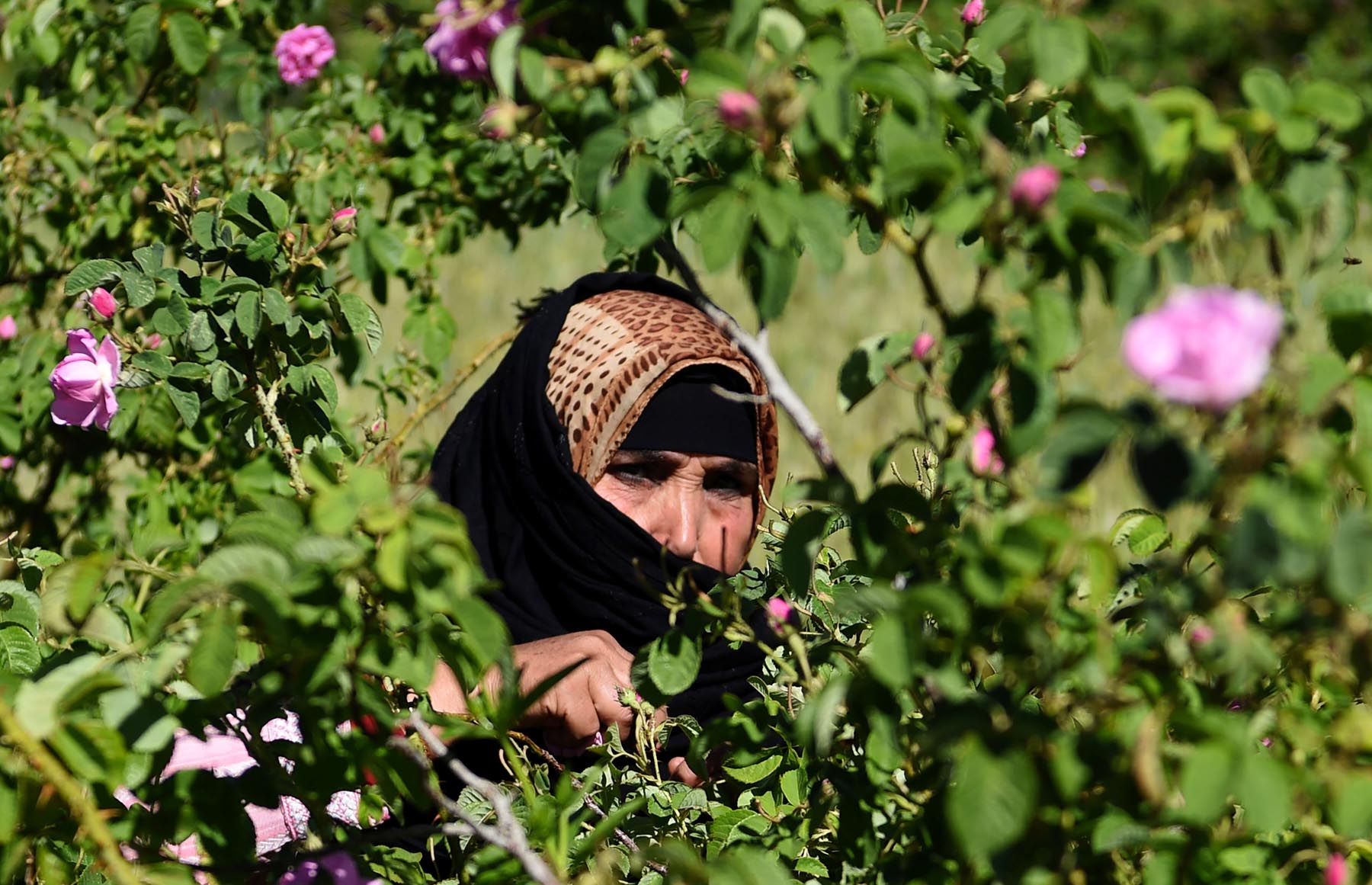 A Moroccan woman harvests Damask roses in Kalaat M'Gouna at the foot of the High Atlas Mountains. (AFP)