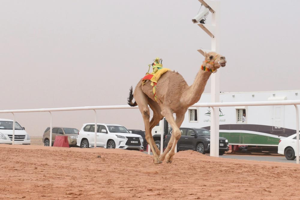 A camel competes at Sharm el-Sheikh International Camel Racing Contest. (Courtesy of Egyptian Camel Racing Federation)
