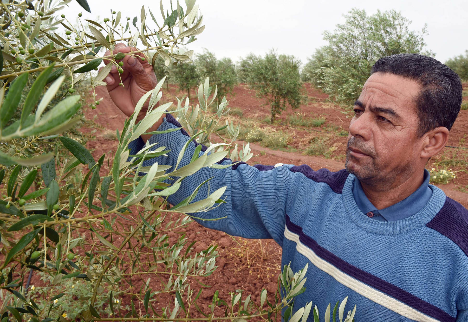 A Moroccan farmer checks an olive tree at a field in Meknes (AFP)