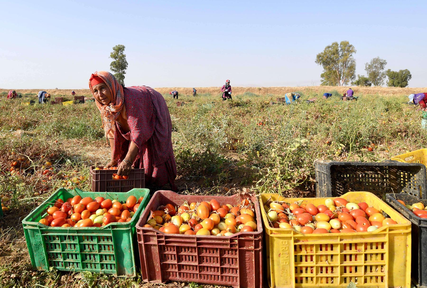 Serious challenges. A Tunisian woman picks tomatoes in a field in Menzel Mhiri in Kairouan.   (AFP)