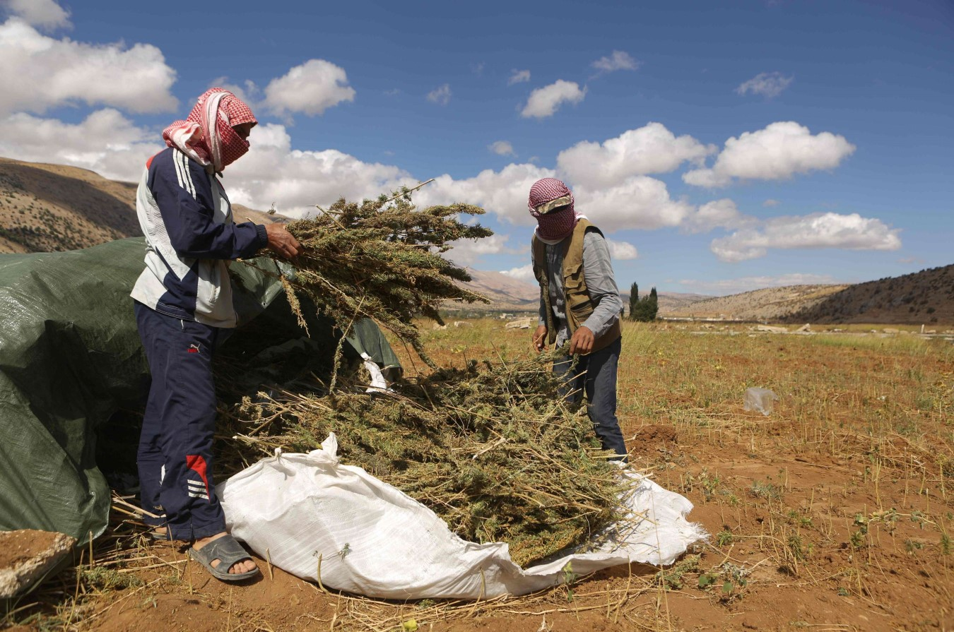 Workers collect marijuana plants in a field in the village of Yammoune in Lebanon's Bekaa Valley. (AFP)