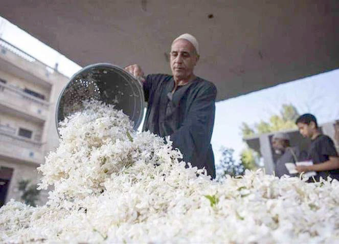 An Egyptian farmer empties a basket of jasmine in Shubra Blula. (Saeed Shahat)