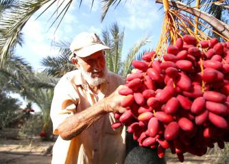 A Palestinian farmer checks the palm tree fruit to make sure it is disease-free. (Culture & Arts Association, Palestine)