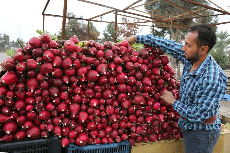 Huge potential. An Iraqi man organises red radish on a cart at a field in Baghdad. (AFP)