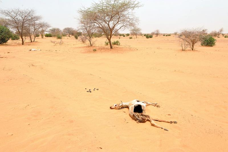 The remains of a goat laying in the sand in Katawane, near Nema, southeastern Mauritania. (AFP)
