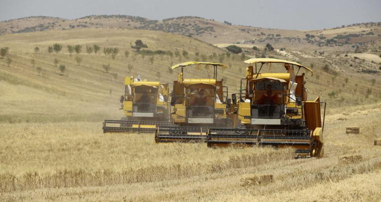 Workers harvest wheat in a field on the outskirts of Berouaguia, south-west of Algiers.  (Reuters)
