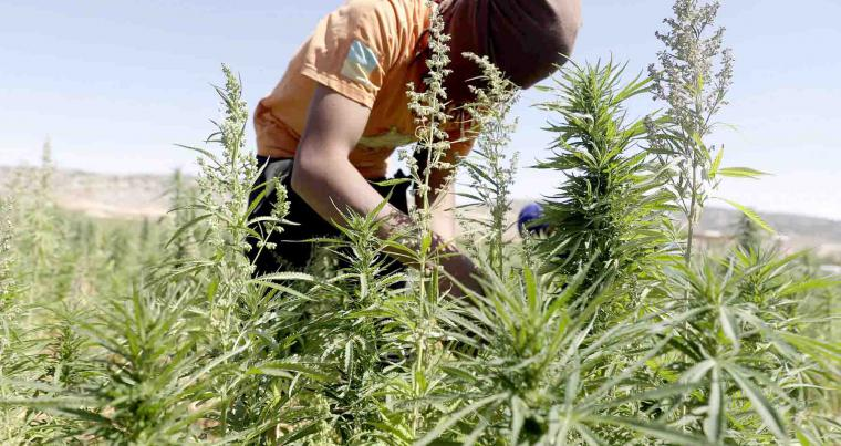 A worker cultivates plants at a cannabis plantation in the village of Yammouneh in Lebanon's eastern Bekaa Valley. (AFP)